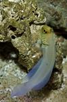 Yellowhead jawfish (Opistognathus aurifrons)