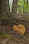 Wood Cauliflower (Sparassis crispa)