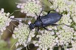 Strictoleptura scutellata
