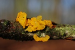 Yellow Brain (Tremella mesenterica)