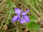 Common Dog-Violet (Viola riviniana)